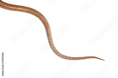 tail of the snake on a white background Poster