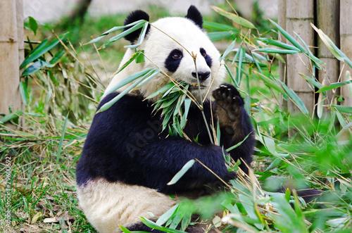 Photo  Giant Panda Eating Bamboo, Chengdu. China.