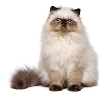 Cute Persian Seal Colourpoint ...