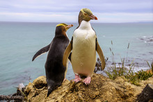 Rarest Yellow-eyed Penguin,Megadyptes Antipodes, New  Zealand