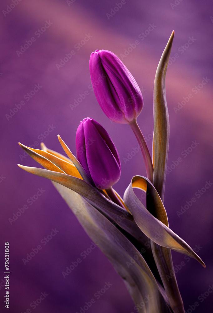 Fototapety, obrazy: Tulipany w pięknej fioletowej kompozycji