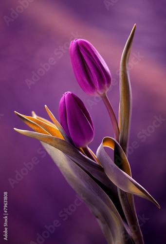 Obraz Tulipany w pięknej fioletowej kompozycji - fototapety do salonu