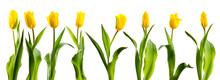 Line Of Yellow Tulips