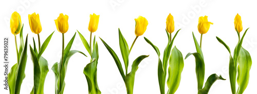 Fototapeta line of yellow tulips obraz