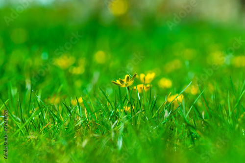Photo Yellow buttercups(Ranunculus acris) lost in the green grass.