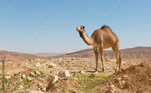 Tuinposter Kameel camel in the Negev desert