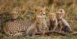 The female cheetah with her cubs