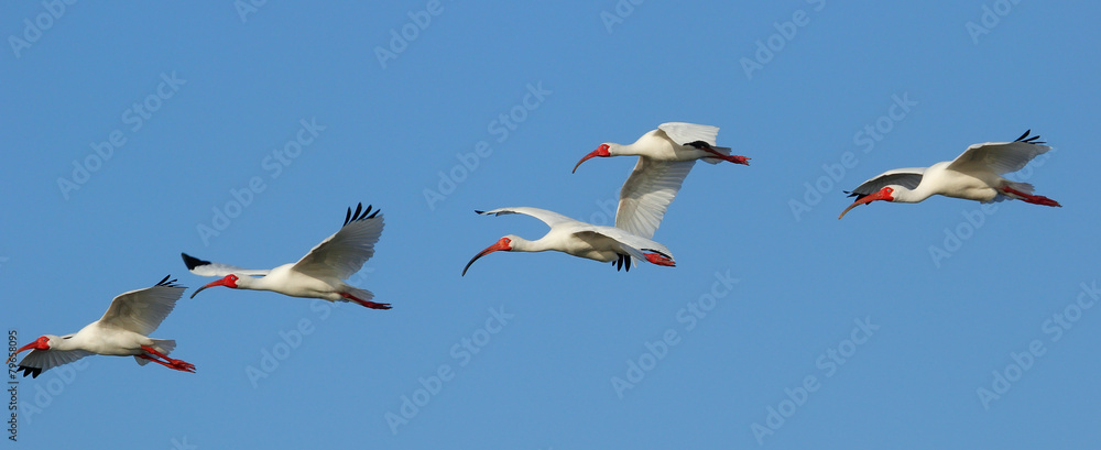 Photo  White Ibises in flight