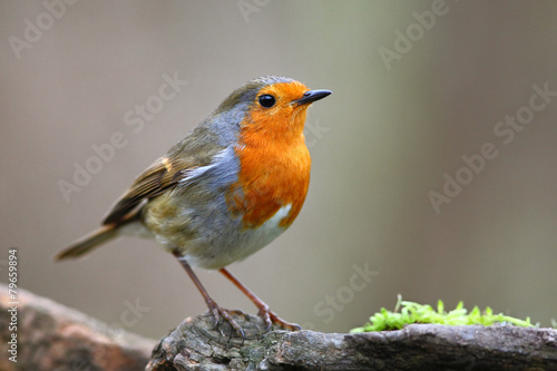 Photo  Robin bird on branch