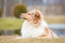 Portrait Of Rough Collie Dog Lying On The Lawn