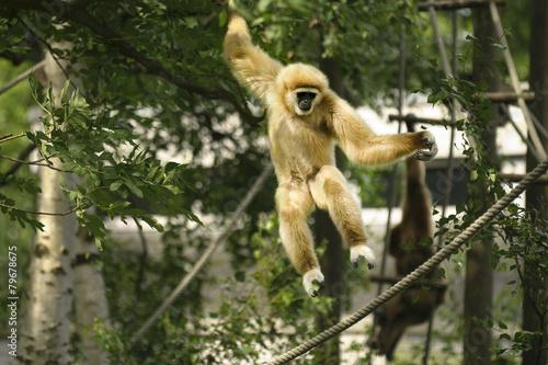Fotografia Gibbon springt.
