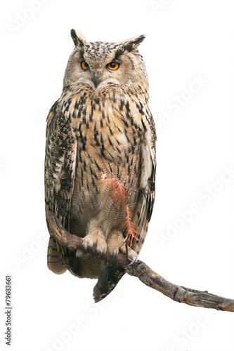 In de dag Uil Eurasian eagle-owl on white