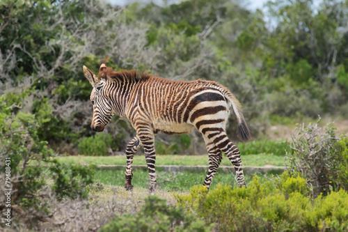 Staande foto Afrika Young Zebra in De hoop nature reserve