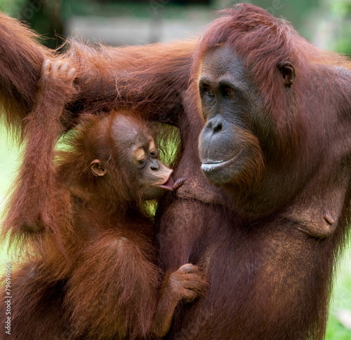 Foto op Plexiglas Indonesië Female orangutan with a baby