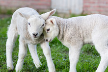Two Hugging And Loving Newborn White Lambs