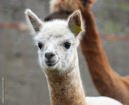 Staande foto Lama Alpaca