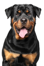 Portrait Of A Purebred Rottwei...