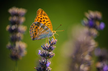 Beautiful Colorful Orage Butterfly Fritillary Collects Nectar On Last Drying Lavender Flowers With Blurred Lavenders On Natural Green Background