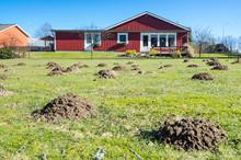 Mole Mounds On Swedish Grass F...