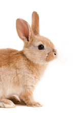 Cute Red Easter Bunny Rabbit On Isolated White Background