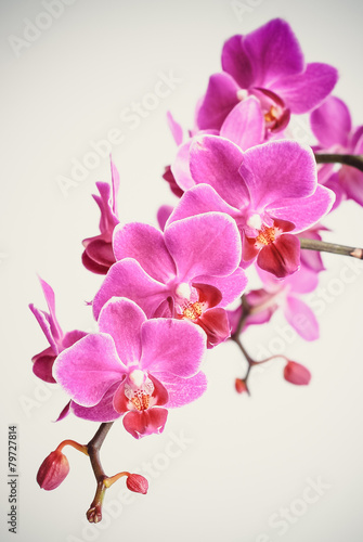 Recess Fitting Orchid Beautiful pinky purple orchid flowers cluster isolated on white background, the pantone color of the year 2014, Radiant Orchid 18-3224 colored