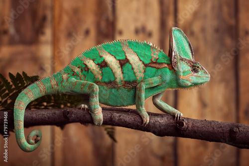 Staande foto Kameleon Chameleon on wooden backround