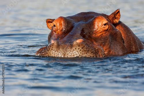 Stampa su Tela adult male Hippopotamus, Hippopotamus amphibius