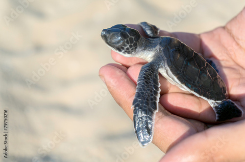 Foto op Aluminium Schildpad Hand holding newly hatched baby turtle
