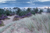 sand dune and flowering heather in morning - 79755667