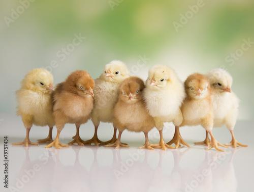 Easter chickens Fototapeta