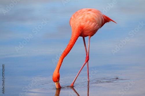 Staande foto Flamingo A Drinking Flamingo