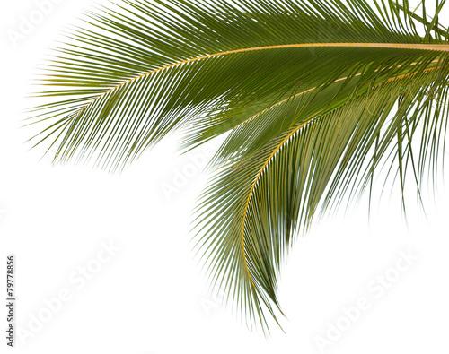 Papiers peints Palmier palmes de cocotier sur fond blanc