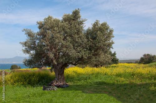 Spoed Foto op Canvas Olijfboom The old olive tree nafone yellow fields blue sky