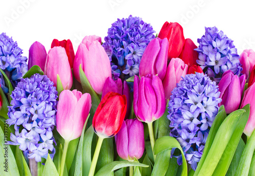 niebieski-hiacynt-i-tulipany