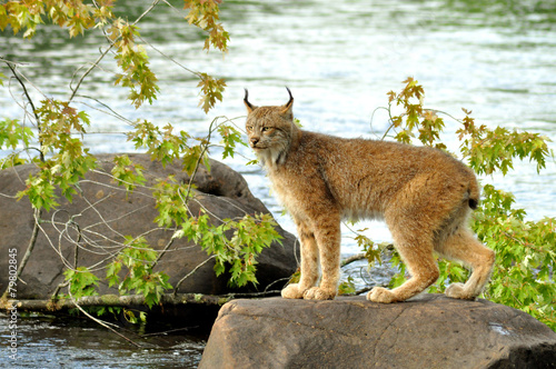 In de dag Lynx Lynx standing on a rock in the river.