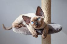 Beautiful Devon Rex Cat Sittin...