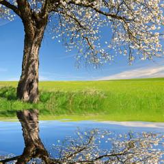 FototapetaBlooming cherry tree on meadow. Spring landscape.