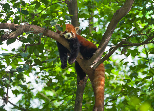Vászonkép Lazy red panda bear in tree