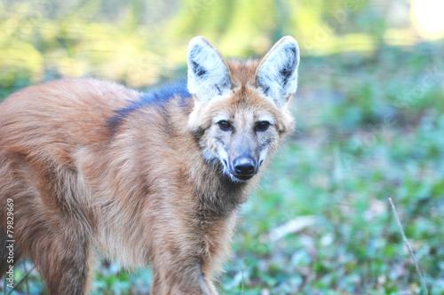 Papiers peints Loup loup à crinière
