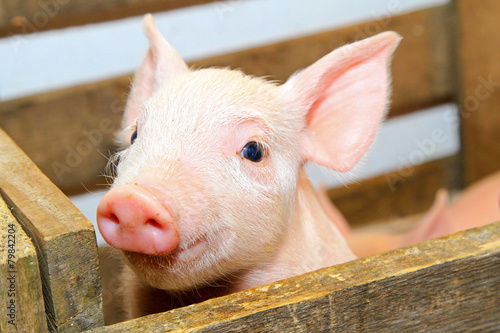 Fotografie, Obraz  Pink pig