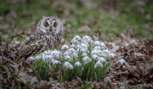 Long Eared Owl With Snowdrops.
