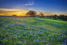 Texas Bluebonnet Field At Sunr...