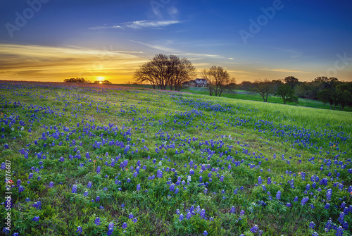 Poster Texas Texas bluebonnet field at sunrise