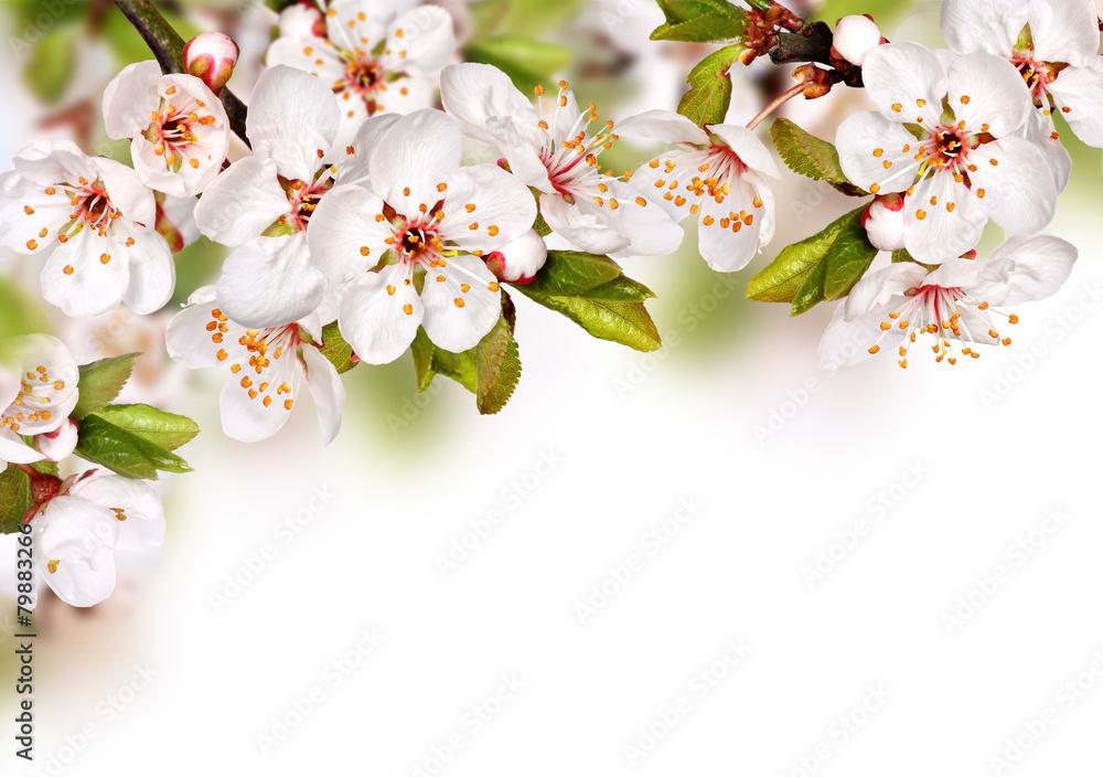 Fototapety, obrazy: Spring flowers background with white blossom