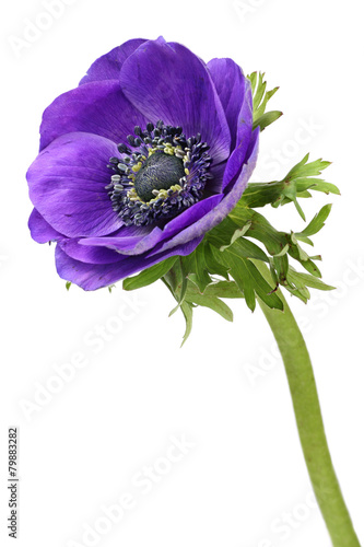 Canvas Print Purple anemone flower isolated on a white background