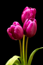 Three Purple Tulip On Black Background With Green Leafs
