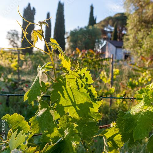 In de dag Begraafplaats young green unripe wine grapes