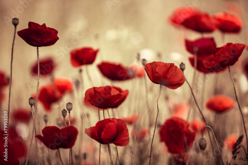 Aluminium Prints Meadow with Poppy Flowers