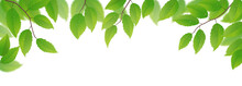 Fresh Green Leaves On White Background, Vector Illustration