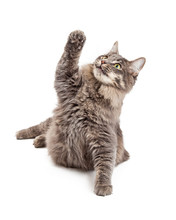 Cute Playful Gray Cat Lifting Paw